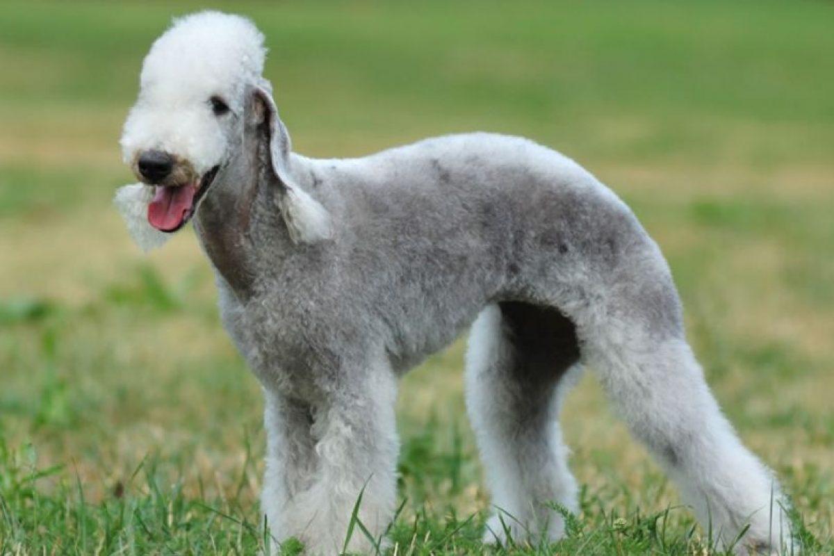 1. Bedlington Terrier. Foto:vía Wikipedia. Imagen Por: