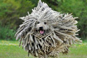 Viene de Hungría. Su pelo no requiere cepillado. Mark Zuckerberg tiene uno. Foto:vía Imgur. Imagen Por: