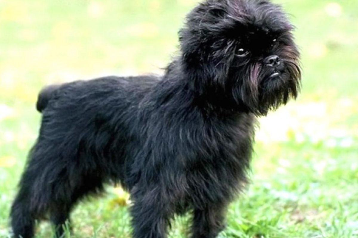 Se decía que se produjo de la mezcla de un pinscher y un mono, pero es un mito. Es un buen perro guardián. Foto:vía Wikipedia. Imagen Por: