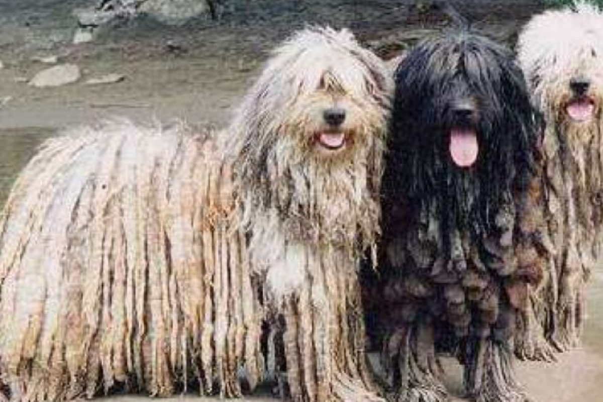 Viene de los Alpes Italianos. Es un perro pastor. Foto:vía Wikipedia. Imagen Por: