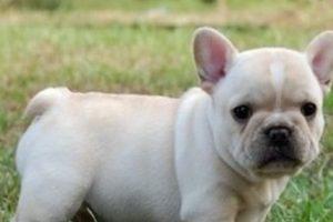 7. Bulldog Francés. Foto:vía Pinterest. Imagen Por: