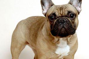 Es un perro que es apto para la compañía. Foto:vía Wikipedia.. Imagen Por:
