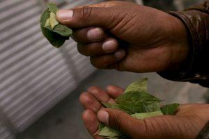 2. Sin embargo, dicho portal de activistas e investigadores expone que mascar hojas de coca no provoca daños a la salud. Foto:Getty Images. Imagen Por: