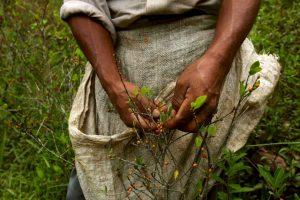 5. Las plantas de coca se cultivan en países como Bolivia, Colombia y Perú. Foto:Getty Images. Imagen Por: