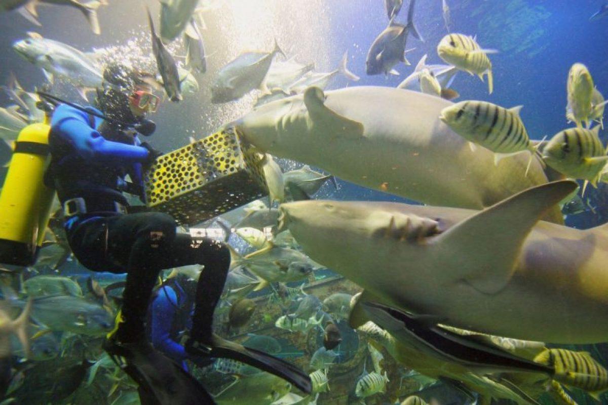 De acuerdo a National Geographic, ha disminuido el riesgo de ser atacado por uno de estos animales. Foto:Getty Images. Imagen Por: