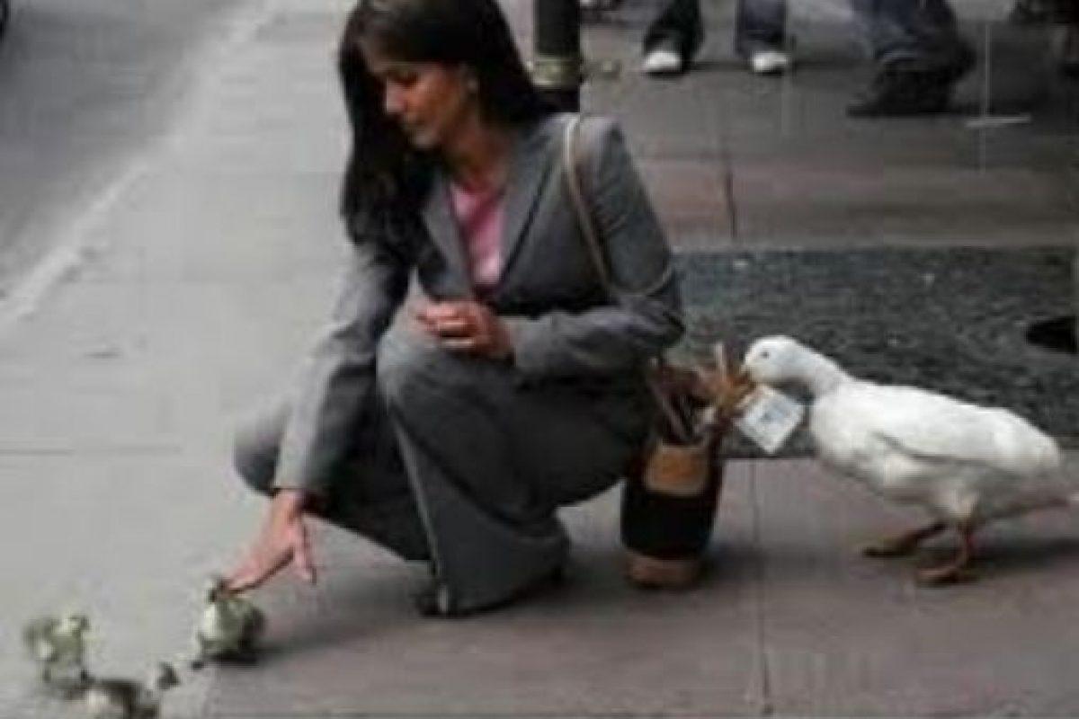 Un pato ladrón. Foto:Tumblr. Imagen Por: