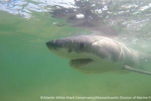 El tiburón llegó por accidente en la playa de Chatham. Foto:Vía facebook.com/atlanticwhiteshark. Imagen Por: