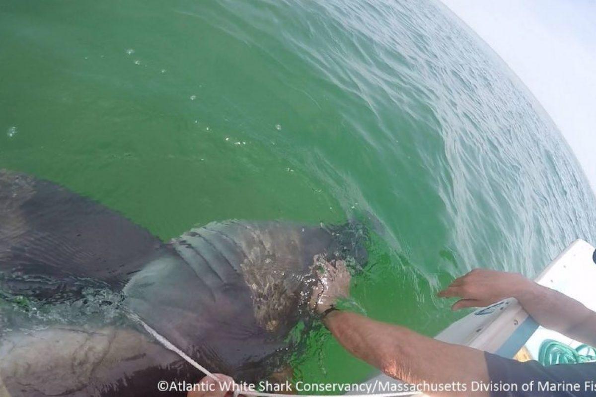Los rescatistas se encargaron de hacer que el tiburón recobrara el conocimiento. Foto:Vía facebook.com/atlanticwhiteshark. Imagen Por: