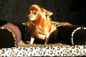 Peluca para perra Foto:Pinterest. Imagen Por: