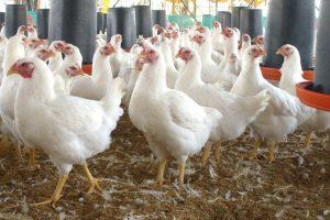 Alectorofobia. Aversión a los pollos Foto:Reproducción. Imagen Por: