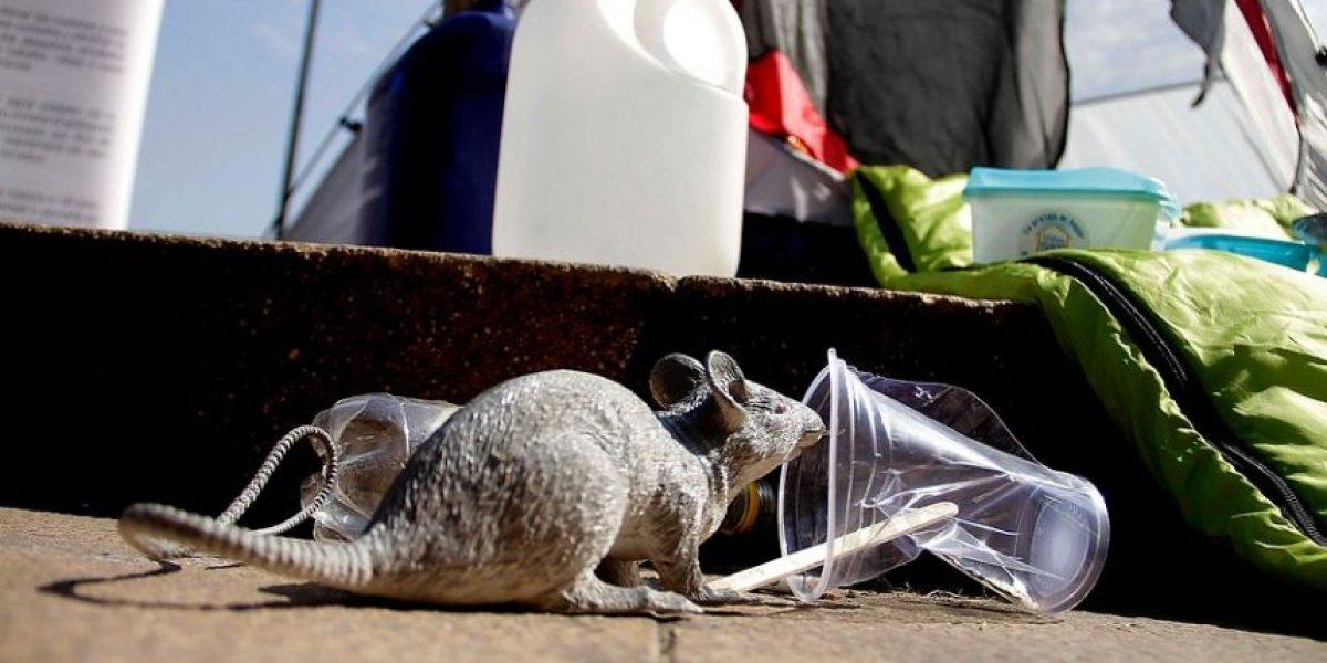Ratón gigante atemorizó a Alto Hospicio