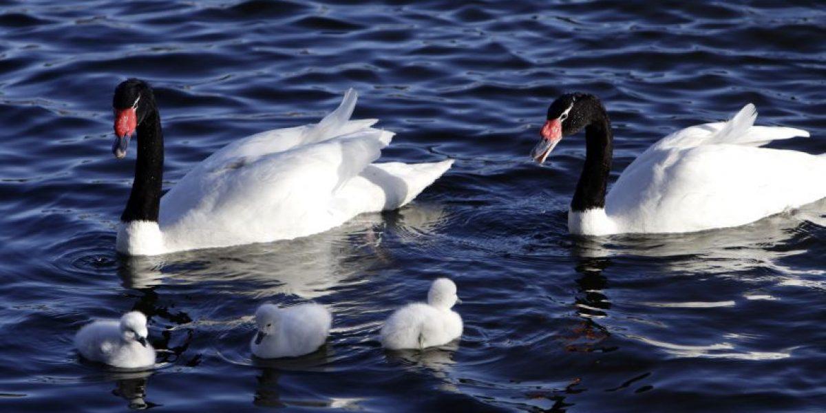 Extreman seguridad y protección a polluelos de cisne negro nacidos en Concepción