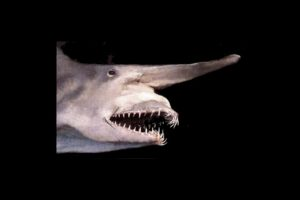 Tiburón duende rosado Foto:Wikicommons. Imagen Por: