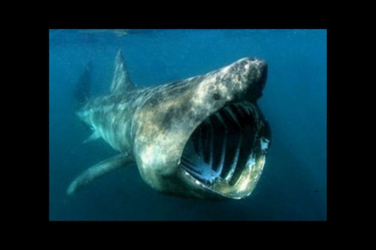 Tiburón peregrino Foto:Wikicommons. Imagen Por: