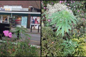 Foto:Facebook.com/pages/Welwyn-Garden-City-Cannabis-Club. Imagen Por: