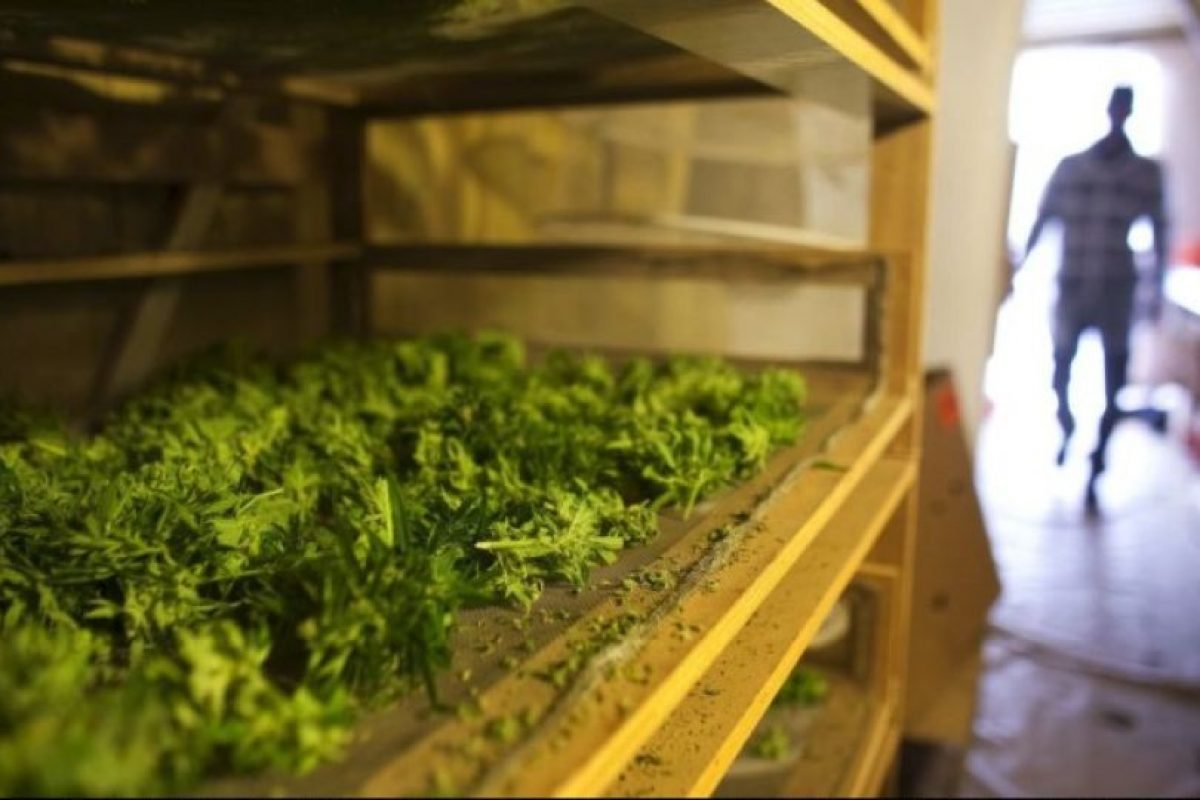 Un estudio de la Universidad de Florida del Sur determinó que el tetrahidrocannabinol (THC), sustancia activa de la marihuana ayuda a la función mitocondrial Foto:Getty Images. Imagen Por: