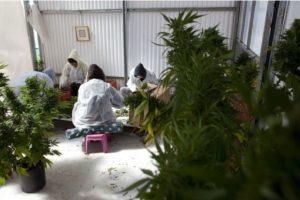 """El periódico español """"ABC"""" reseñó un estudio de la Universidad Complutense de Madrid que detalla que la marihuana puede ayudar a frenar la progresión de la esclerosis múltiple Foto:Getty Images. Imagen Por:"""