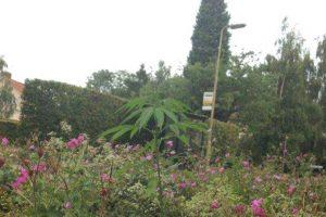 Aseguran que su legalización podría mejorar la economía del país Foto:Facebook.com/pages/Welwyn-Garden-City-Cannabis-Club. Imagen Por:
