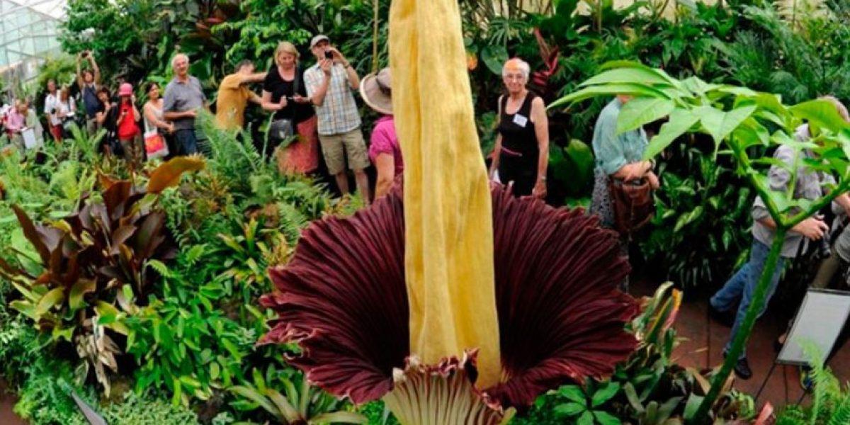 Aro: la flor más grande del mundo brotó en Tokio