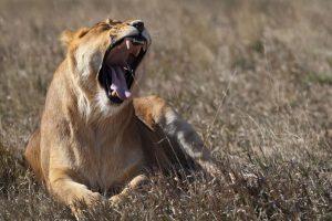 Cecil se encontró decapitado y sin piel. Foto:Getty Images. Imagen Por:
