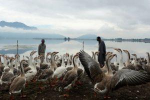 Campesinos alimentan gansos en la India. Foto:AFP. Imagen Por:
