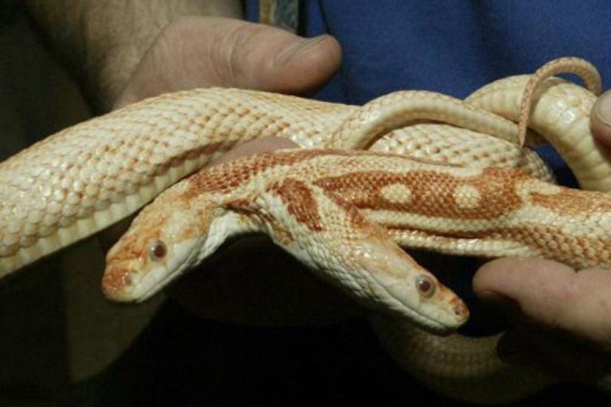 Esto se llama Policefalia Foto:vía Wildlife.com. Imagen Por: