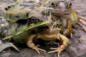 """Esta rana se llama """"Froggy"""" y tiene tres cabezas. Foto:vía Animal Planet. Imagen Por:"""