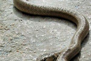 Serpiente de dos cabezas. Foto:vía Flickr. Imagen Por: