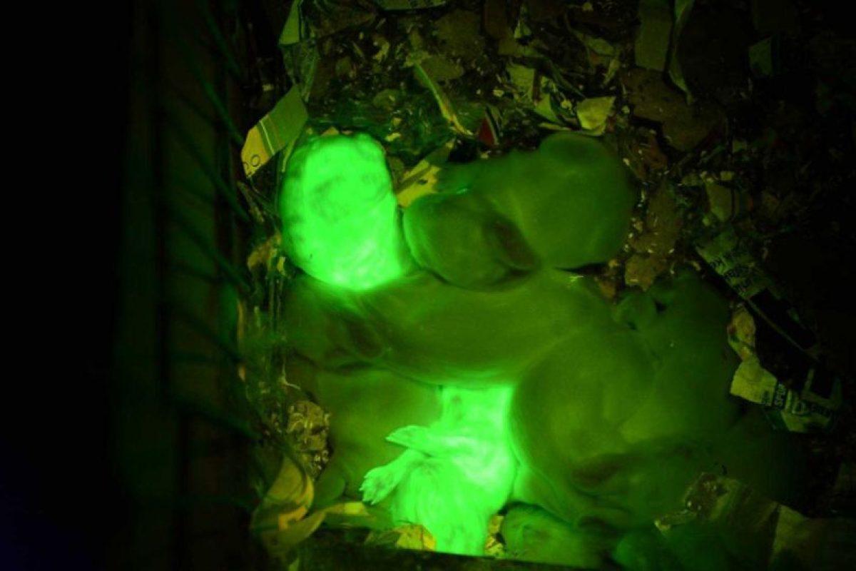 Inyectaron el gen en las madres y así salieron sus crías. Foto:vía Universidad de Hawai. Imagen Por: