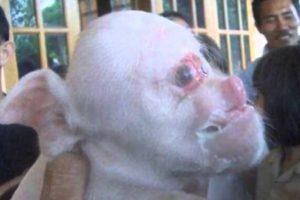 """El """"cerdo/ mono"""" nació en China el año pasado y tenía holofroncefalia. Nació en en el campo y su familia quería matarlo, pero luego se convirtió en una atracción hasta que murió. Foto:vía Wildlife.com. Imagen Por:"""
