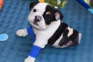 1. Este perrito que solo tiene la mitad de su cuerpo los conmoverá enteramente Foto:Facebook.com/HalfABulldogTwiceTheLove. Imagen Por: