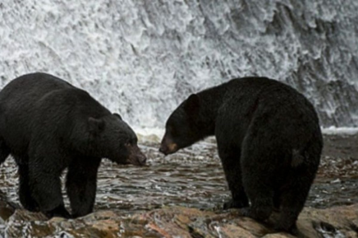 "3. Hombre crió a dos ""perros"" que terminaron siendo salvajes osos Foto:Wikimedia.org. Imagen Por:"