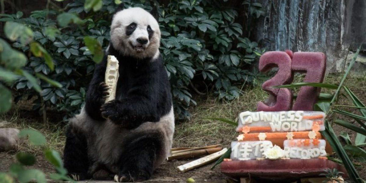 Jia Jia: la panda en cautividad más vieja