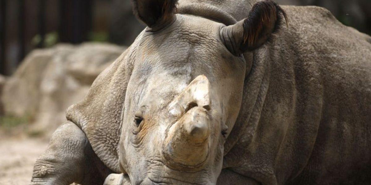 Sólo quedan 4 en el mundo: muere un rinoceronte blanco en República Checa