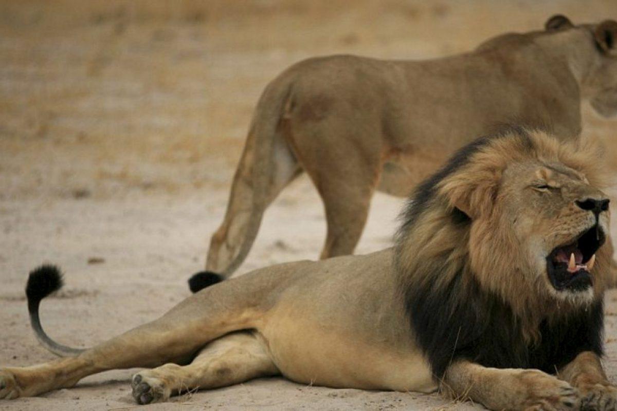 Y de otros leones muertos. Foto:vía Youtube. Imagen Por: