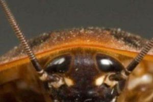Las cucarachas tambien aman meterse dentro de las orejas. Foto:Wikimedia. Imagen Por: