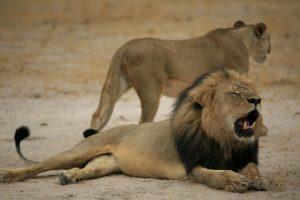 La muerte de Cecil ha conmocionado al mundo. Foto:AFP. Imagen Por: