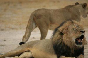 Cecil, cercado, cazado y luego decapitado, se ha hecho famoso precisamente por como murió. Foto:vía AP. Imagen Por: