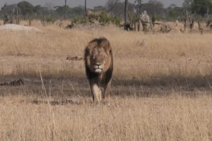 Él era Cecil, un león que era famoso en Zimbawe, pero ahora es famoso a nivel mundial por su cruel muerte. Foto:vía Youtube. Imagen Por: