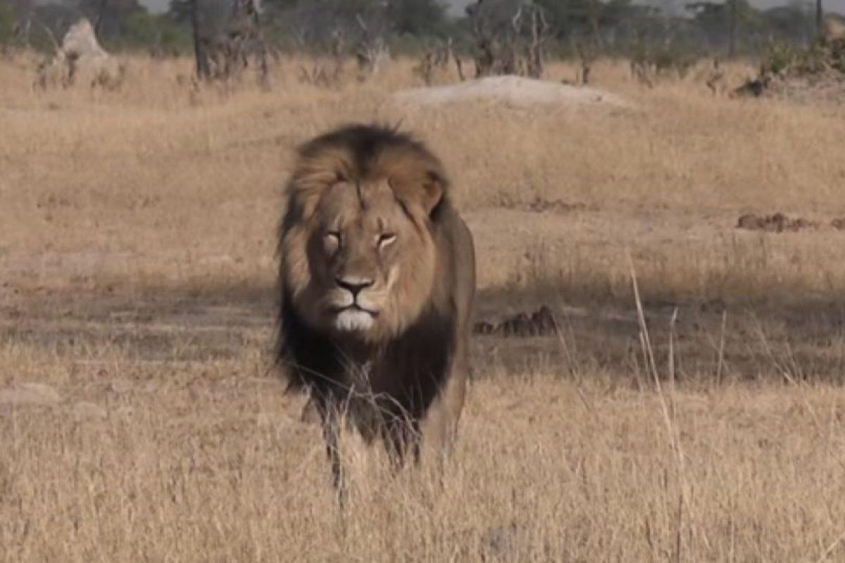 Le ponen fotos de Cecil. Foto:vía Youtube. Imagen Por: