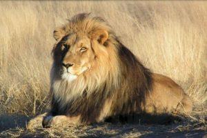 Cecil fue asesinado con arco y flecha. Foto:Vía wikipedia.org. Imagen Por:
