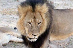 De hecho, este arruinó su vida al matar a uno de los tesoros naturales de Zimbaue. Foto:vía AP. Imagen Por: