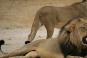 Mientras tanto, los tributos a Cecil siguen. Foto:vía Youtube. Imagen Por: