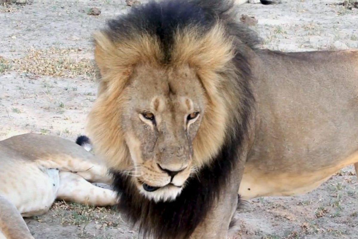 El león de 13 años vivía en una reserva. Foto:AP. Imagen Por: