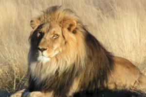 La cabeza de Cecil nunca apareció. Foto:vía Getty Images. Imagen Por: