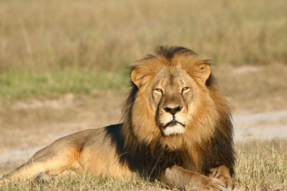 La forma en como murió Cecil, el león más famoso de África, ha indignado al mundo. Foto:vía Getty Images. Imagen Por: