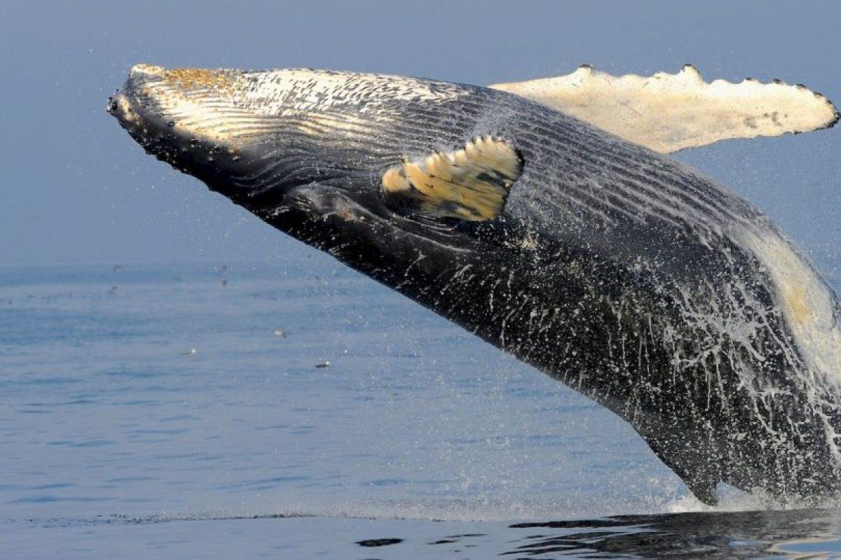 Ballena en Australia. Foto:AFP. Imagen Por: