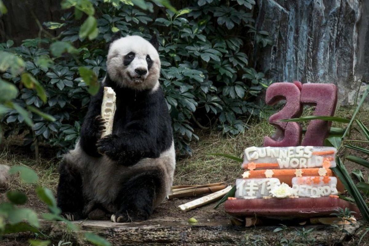 El panda Jia Jia celebrando su cumpleaños número 37. Foto:AFP. Imagen Por: