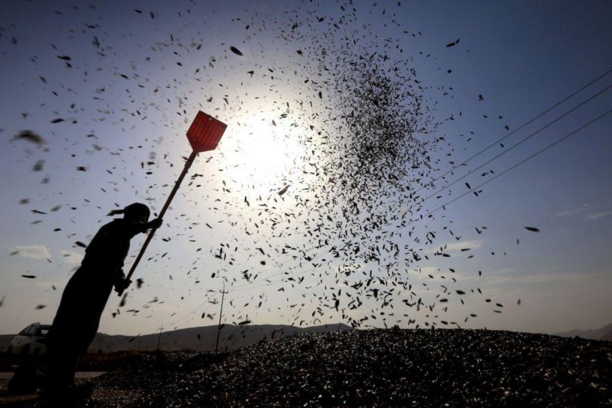 Un hombre kurdo cosecha girasoles al norte de Irak. Foto:AFP. Imagen Por: