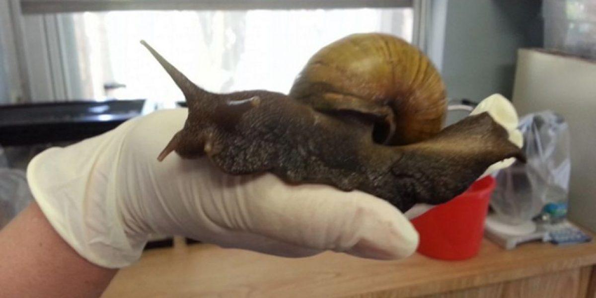 Alerta en Estados Unidos: caracoles gigantes invaden Florida